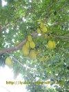 Jackfruit2_2